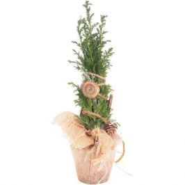 Кипарисовик «Элвуди», декоративный, 9х35 см