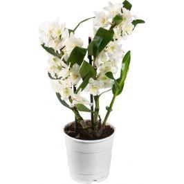 Орхидея микс 12х40 см