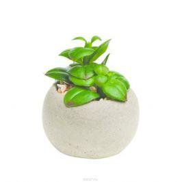 Растение суккулентное